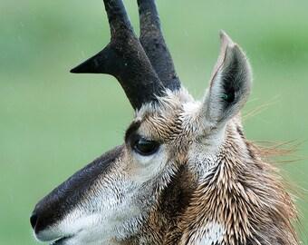 Pronghorn Antelope Photo, Montana Image, Fine Art Image, wildlife Image