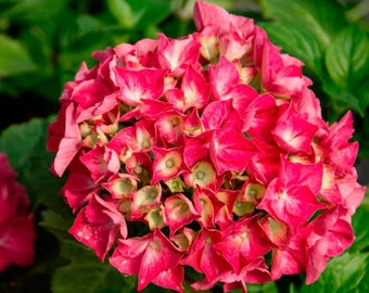 Red Sensation Next Generation Mophead Hydrangea - Live Plant - Quart Pot