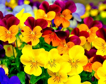 Pansy giant mixed seeds,255 ,flowers mix , winter flowers mix , pansy flower , gardening