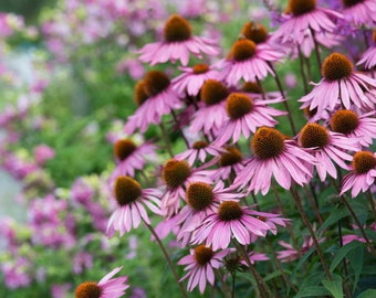 Echinacea purpurea seeds, 262  , non gmo greek seeds, herb, gardening,eastern purple coneflower seeds ,purple coneflower seeds