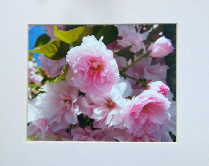 PINK CHERRY BLOSSOMS matted Wall Decor by Pam of Pam's Fab Photos, Home, Cubicle or Office Decor, Frame-Ready, Gift Idea