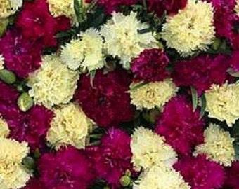 30+ Fizz Banana Berry Carnation Dianthus / Perennial Flower Seeds