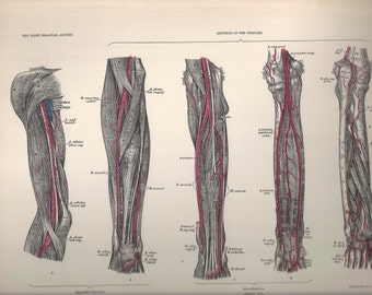 Arteries of the Forearm,  Anatomical Plate 62, Descriptive Atlas of Anatomy 1880