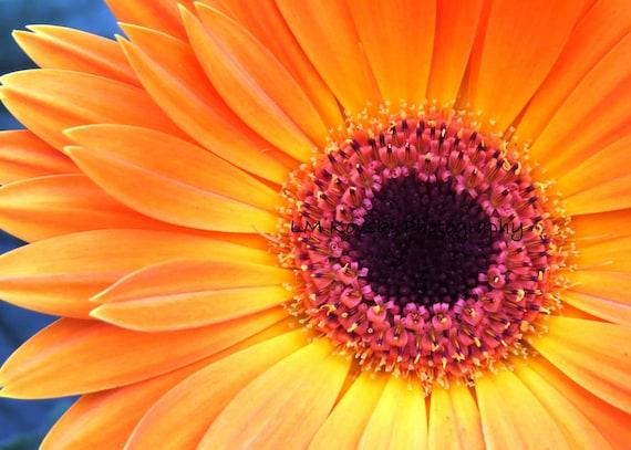 Yellow Orange Gerber Daisy Photograph Fine Art Floral