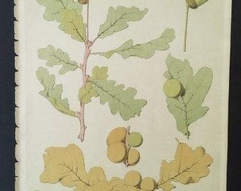 Oak Leaf and Acorn Chromolithograph