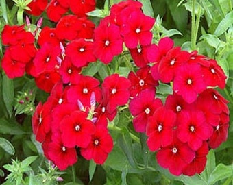Phlox-  Red- 200 seeds