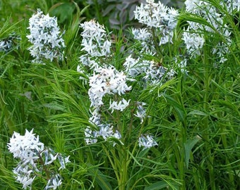 Amsonia hubrichtii (Arkansas Bluestar) [25 Seeds]
