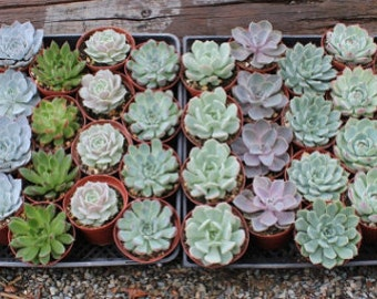 """45 Gorgeous Rosette ONLY Succulents in their 4"""" plastic containers wedding shower FAVORS party gifts plants"""