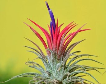 SHY PLANT - Bromeliad