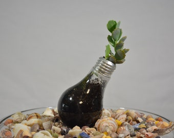 Succulents Planted in Incandescent Light Bulb * Succulents * Plants * Organic Succulents * Succulent Display * Light Bulb * Re-Imagined