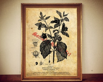 Atropa belladonna, deadly nightshade print, poisonous plant poster, wiccan decor, witch house decor, botanical poster, witch decor 141