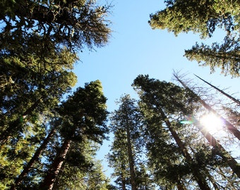 Alpine Forest Landscape Photography Print, Trees from below, Nature Wall Art, New Mexico Home Decor