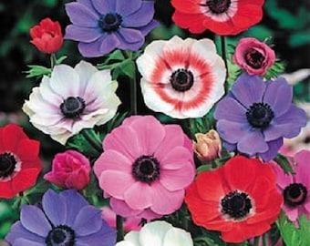 Anemone  Multifida Mix Flower Seeds / Perennial 50+