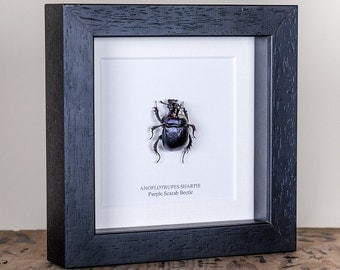 Purple Scarab Beetle in Box Frame (Anoplotrupes Sharpie)