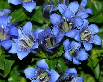 Gentian Blue Nikita (Gentiana Dahurica Nikita) 50+Seeds