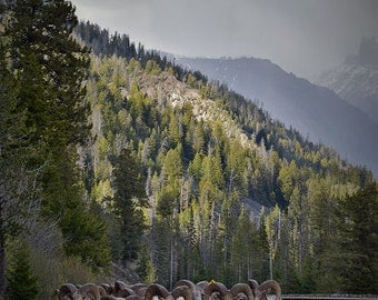 Yellowstone Bighorn Sheep print. Canvas photo print. Canvas Photography. Wall Art. 8x10, 11x14, 16x20, 20x24.