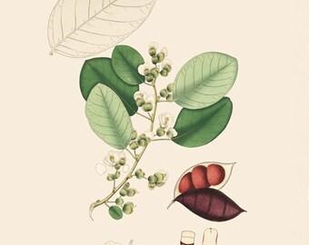 Legume (Podalyria Bracteata) - reproduction of an old botanical illustration