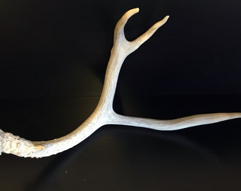 Brown 3 Point Mule Deer Antler Shed Horn - 307