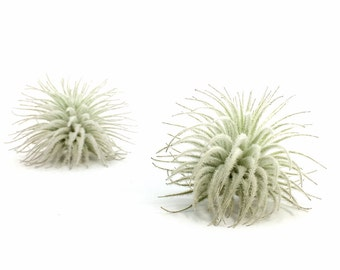 Tillandsia Tectorum Air Plant (small) // Hello Tilly Airplant