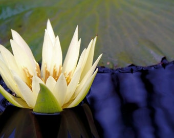 Water Lily Flower Photograph