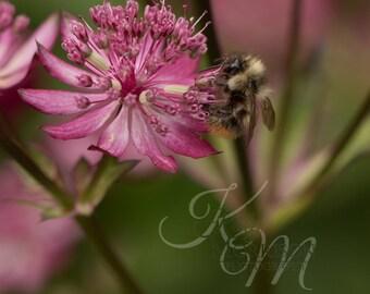 Bee on Ruby Wedding Masterwort Fine Art Print