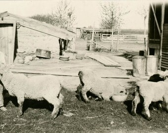 vintage photo 1915 Boys Overalls FArm Bottle Feed Lambs Sheep One Feeds in Bowl