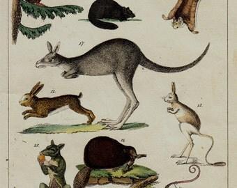 1833 Antique ANIMAL print, mammals, Marsupials, rodents, kangaroo, squirrel, jerboa, rabbit, bat, possum, rabbit pig, hand colored engraving