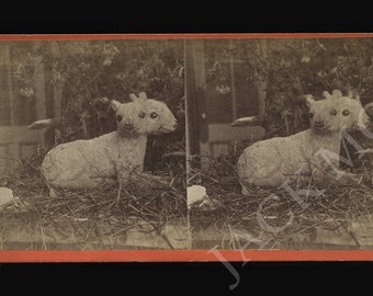 Rare 1870s Two Headed Lamb Stereoview