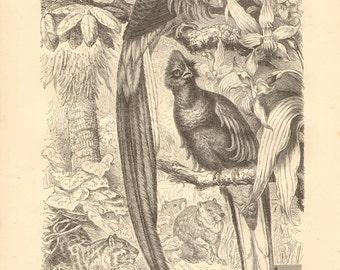 1878 Resplendent Quetzal - Pharomachrus mocinno Original Antique Engraving