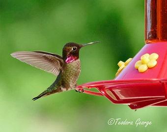 Hummingbird Photography, Bird Photo, WIldlife Photo