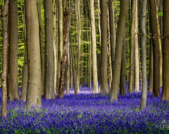 Bluebell Forest, Photography, Purple, Nature, Magical, Trees, Fairytale Forest, Travel Photo, Woods, Nature Home Decor, Large Wall Art