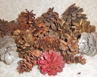Real Christmas Pine Cones 18 Different Varieties