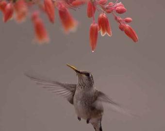 Fine Art Photography Print - Hummingbird