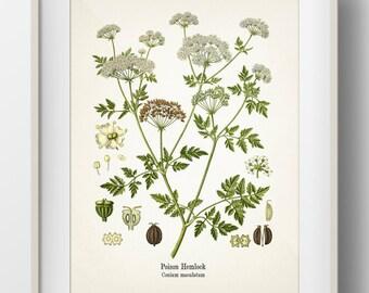 Poison Hemlock - Conium maculatum - Fine art print of a vintage botanical natural history antique illustration