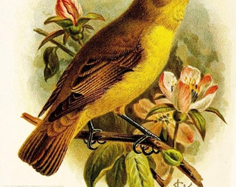 Common Tree Warbler - late 1800s vintage illustration
