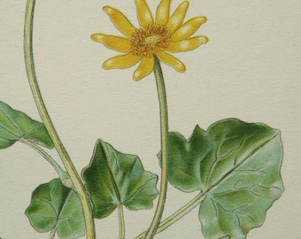 1890 Antique fine lithograph of a FIG BUTTERCUP. Lesser Celandine flowering plant. Yellow flowers. 125 years old print