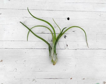 BUY ONLY with CACTOPUS Air plant Tillandsia Caput Medusae, only combined with a Cactopus