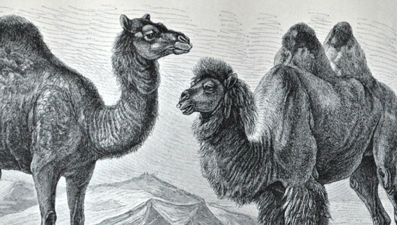 Camel print. Dromedary engraving. Old book plate, 1904. Antique  illustration. 111 years lithograph. 9'6 x 6'2 inches.
