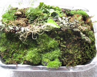 Small terrarium pack. Moss, ferns, forest plants, mossy wood.