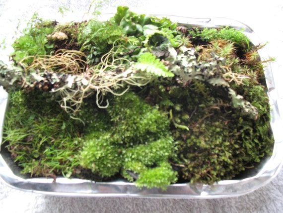 small terrarium pack moss ferns forest plants mossy wood. Black Bedroom Furniture Sets. Home Design Ideas