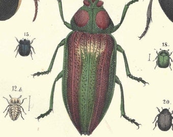 1857 Antique Beetles Insects Bugs Print Hand Colored Engraving German Original