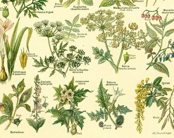 1922 Poisonous Plants, Hemlock, Saffron, Antique Botanical Print, French vintage illustration Larousse