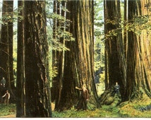 Welch Big Tree Grove, Henry Cowell Redwoods State Park, California,  Antique 1908 Postally Used Color Postcard
