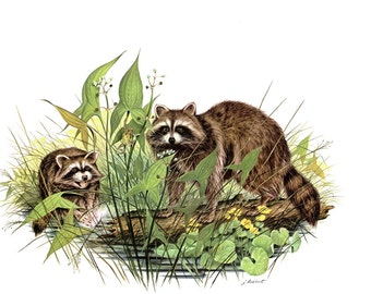 Raccoons a large print (12 inches tall and 15 inches wide), painted by James Lockhart for the book Wild American