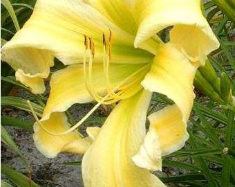 Daylily Heavenly Flight of Angels (Hemerocallis)