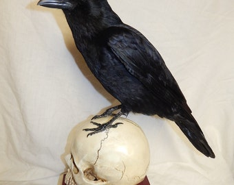 Taxidermy crow attached to a replica human  skull ,   two similar books  be surplied