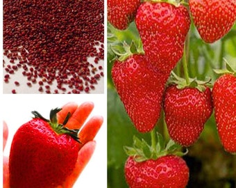 100 seeds Giant strawberry