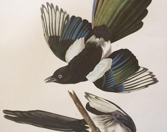AMERICAN MAGPIE Large Original Vintage 1964  Audubon Print, 14 x 17 inches, Bird Decor, Vintage Decor, Ornithology