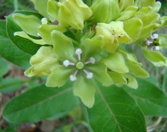 Spider aka Green Milkweed RARE (10 --> 1/4 OZ seeds) Rare Viridis Butterfly FR