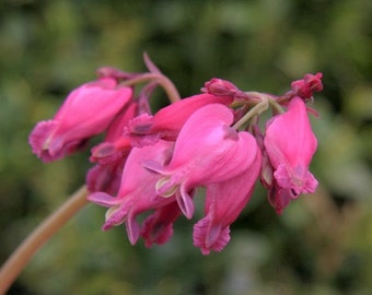 Luxuriant - Bleeding Heart Root/Plant